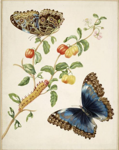 Branch of West Indian Cherry with Achilles Morpho Butterfly, 1702-03ROYAL COLLECTION TRUST/© HER MAJESTY QUEEN ELIZABETH II 2016